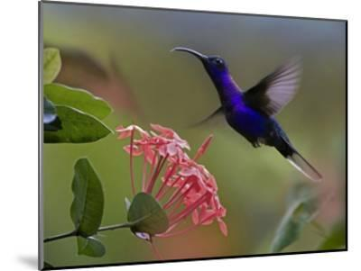Violet Sabre-wing male hummingbird feeding at flower, Costa Rica-Tim Fitzharris-Mounted Art Print