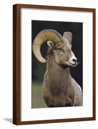 Bighorn Sheep male portrait, Banff National Park, Alberta, Canada-Tim Fitzharris-Framed Art Print