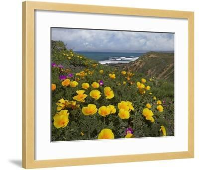 California Poppy field, Montano de Oro State Park, California-Tim Fitzharris-Framed Art Print