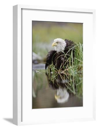 Bald Eagle with reflection at the edge of a lake, North America-Tim Fitzharris-Framed Art Print