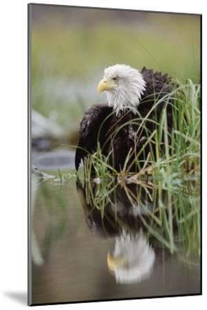 Bald Eagle with reflection at the edge of a lake, North America-Tim Fitzharris-Mounted Art Print