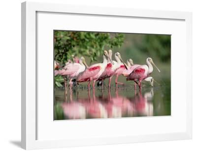 Roseate Spoonbill flock wading in pond, Texas coast near Galveston-Tim Fitzharris-Framed Art Print