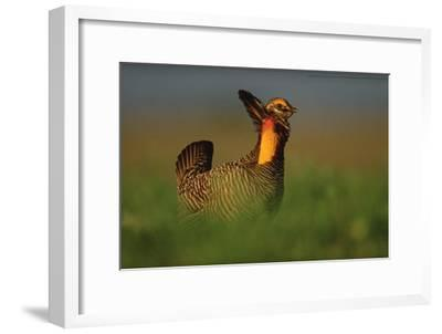Greater Prairie Chicken male in courtship display, Eagle Lake, Texas-Tim Fitzharris-Framed Art Print