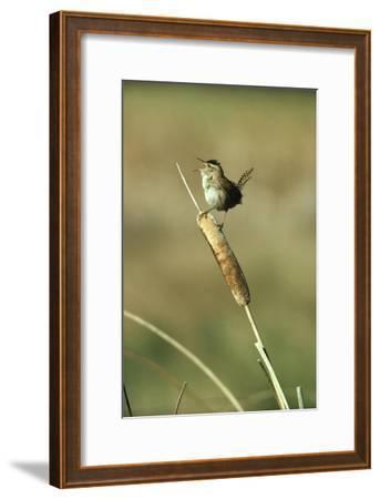 Marsh Wren singing while perching on a Common Cattail, Alberta, Canada-Tim Fitzharris-Framed Art Print