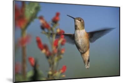 Rufous Hummingbird feeding on the nectar of a Desert Figwort New Mexico-Tim Fitzharris-Mounted Art Print