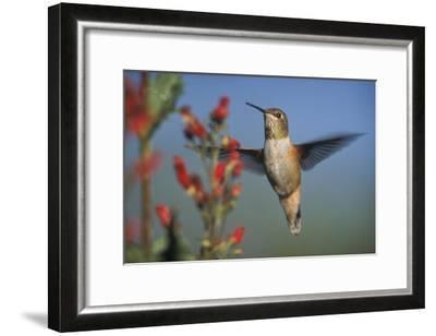 Rufous Hummingbird feeding on the nectar of a Desert Figwort New Mexico-Tim Fitzharris-Framed Art Print