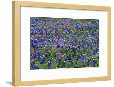 Hill Country wildflowers including Sand Bluebonnets and Paintbrush, Texas-Tim Fitzharris-Framed Art Print