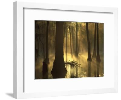 Bald Cypress grove in freshwater swamp at dawn, Lake Fausse Pointe, Louisiana-Tim Fitzharris-Framed Art Print