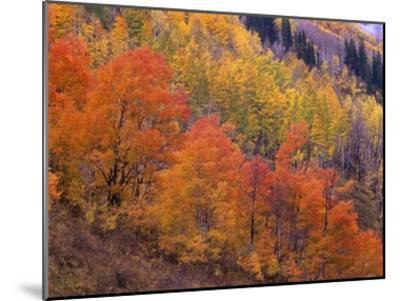 Aspen grove in fall colors, Washington Gulch, Gunnison National Forest, Colorado-Tim Fitzharris-Mounted Art Print