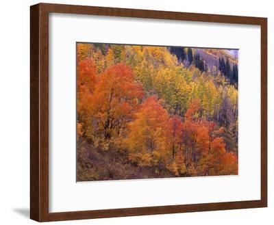 Aspen grove in fall colors, Washington Gulch, Gunnison National Forest, Colorado-Tim Fitzharris-Framed Art Print