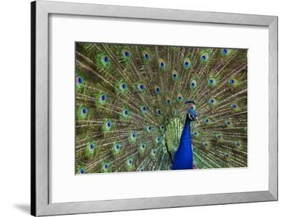 Indian Peafowl male with tail fanned out in courtship display, native to Asia-Tim Fitzharris-Framed Art Print