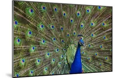 Indian Peafowl male with tail fanned out in courtship display, native to Asia-Tim Fitzharris-Mounted Art Print