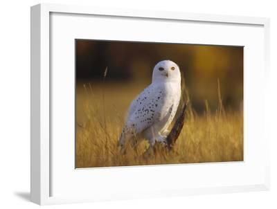 Snowy Owl adult amid dry grass, circumpolar species, British Columbia, Canada-Tim Fitzharris-Framed Art Print