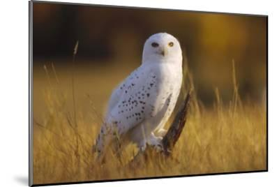 Snowy Owl adult amid dry grass, circumpolar species, British Columbia, Canada-Tim Fitzharris-Mounted Art Print
