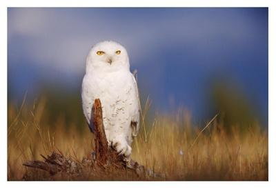 Snowy Owl adult perching on a low stump in a field of green grass, British Columbia, Canada-Tim Fitzharris-Framed Art Print