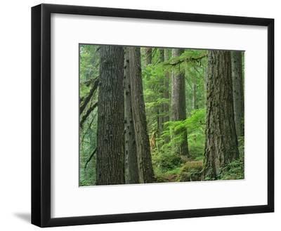 Old growth forest of Western Red Cedar Grove of the Patriarchs, Mt Rainier National Park-Tim Fitzharris-Framed Art Print