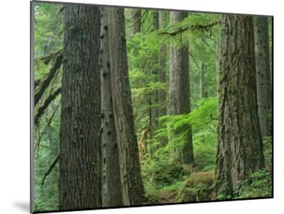 Old growth forest of Western Red Cedar Grove of the Patriarchs, Mt Rainier National Park-Tim Fitzharris-Mounted Art Print