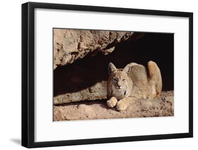 Bobcat adult resting on rock ledge, North America-Tim Fitzharris-Framed Art Print