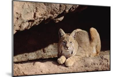 Bobcat adult resting on rock ledge, North America-Tim Fitzharris-Mounted Art Print