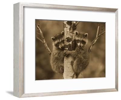 Raccoon two babies climbing tree, North America - Sepia-Tim Fitzharris-Framed Art Print