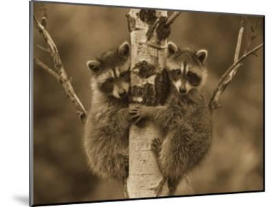 Raccoon two babies climbing tree, North America - Sepia-Tim Fitzharris-Mounted Art Print