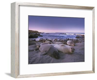 Northern Elephant Seal juveniles laying on the beach, Point Piedras Blancas, Big Sur, California-Tim Fitzharris-Framed Art Print