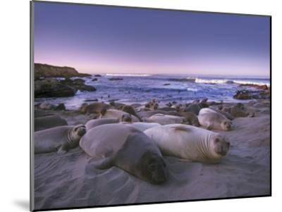 Northern Elephant Seal juveniles laying on the beach, Point Piedras Blancas, Big Sur, California-Tim Fitzharris-Mounted Art Print