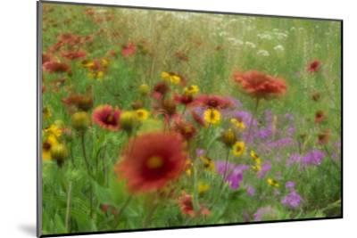 Gaillardia, coreopsis and pointed phlox, blowing in the wind, Texas-Tim Fitzharris-Mounted Art Print