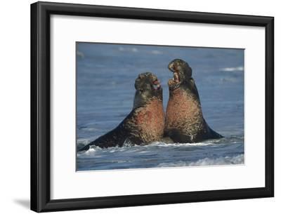 Northern Elephant Seal males fighting, California-Tim Fitzharris-Framed Art Print