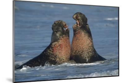 Northern Elephant Seal males fighting, California-Tim Fitzharris-Mounted Art Print