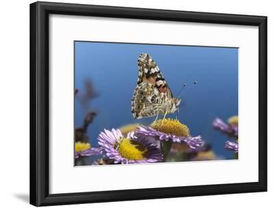 Painted Lady butterfly feeding on Purple Aster , California-Tim Fitzharris-Framed Art Print