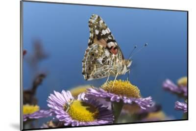 Painted Lady butterfly feeding on Purple Aster , California-Tim Fitzharris-Mounted Art Print