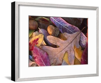 Acorns, Oak, Cherry and Sumac, fall, Petit Jean State Park, Arkansas-Tim Fitzharris-Framed Art Print