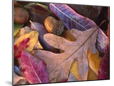 Acorns, Oak, Cherry and Sumac, fall, Petit Jean State Park, Arkansas-Tim Fitzharris-Mounted Art Print
