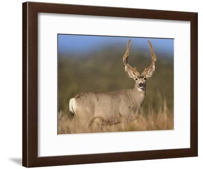 Mule Deer male in dry grass, North America-Tim Fitzharris-Framed Art Print