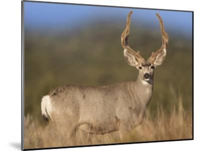 Mule Deer male in dry grass, North America-Tim Fitzharris-Mounted Art Print