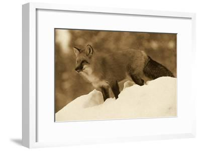 Red Fox standing at the top of a snow bank, Montana - Sepia-Tim Fitzharris-Framed Art Print