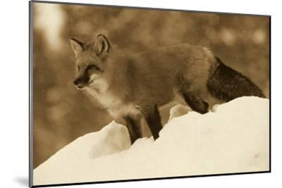Red Fox standing at the top of a snow bank, Montana - Sepia-Tim Fitzharris-Mounted Art Print