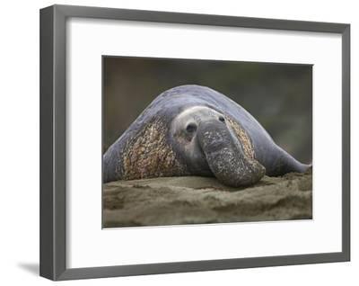 Northern Elephant Seal bull, showing proboscis, California-Tim Fitzharris-Framed Art Print