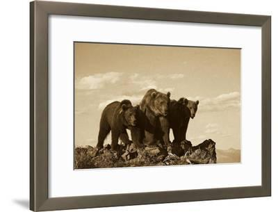 Grizzly Bear with two one-year-old cubs, North America - Sepia-Tim Fitzharris-Framed Art Print
