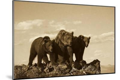 Grizzly Bear with two one-year-old cubs, North America - Sepia-Tim Fitzharris-Mounted Art Print