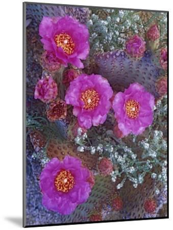 Beavertail Cactus flowering, North America-Tim Fitzharris-Mounted Art Print