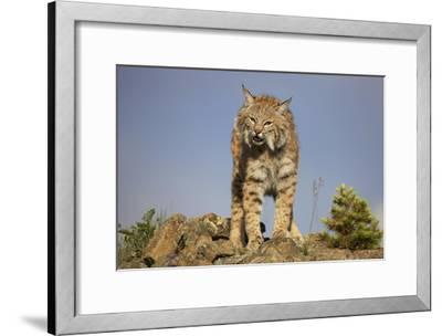 Bobcat , North America-Tim Fitzharris-Framed Art Print