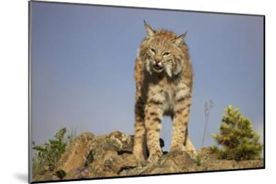 Bobcat , North America-Tim Fitzharris-Mounted Art Print