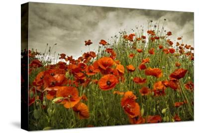 Bobbi's Poppies-David Winston-Stretched Canvas Print