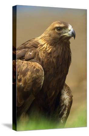 Golden Eagle portrait, North America-Tim Fitzharris-Stretched Canvas Print