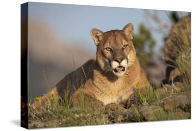 Mountain Lion portrait, North America-Tim Fitzharris-Stretched Canvas Print