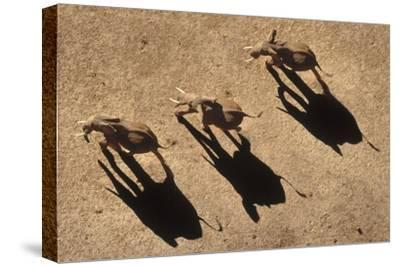 African Elephant trio aerial with shadows, Africa-Tim Fitzharris-Stretched Canvas Print