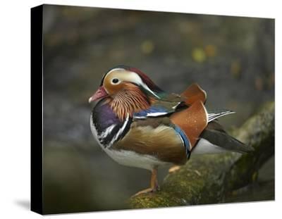 Mandarin Duck male, Jurong Bird Park, Singapore-Tim Fitzharris-Stretched Canvas Print