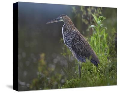 Bare-throated Tiger Heron portrait, Costa Rica-Tim Fitzharris-Stretched Canvas Print